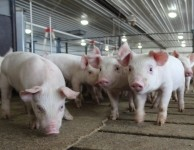 'The lower pH is easier on the pigs' stomachs': Agravis led JV develops chocolate based liquid feed