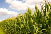 Syngenta lawsuit sees bellwether contention © istock.com