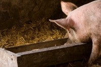 Heat, sodium metabisulfite may help mitigate some contamination in pig feed